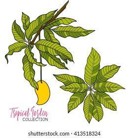Mango. Colored tropical plant. Vector illustration.