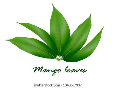 Mango leaves background for banner, celebration, holiday, packaging, poster. Realistic 3d leaf vector.