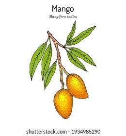 Mango (Mangifera indica), tropical plant. Hand drawn botanical vector illustration