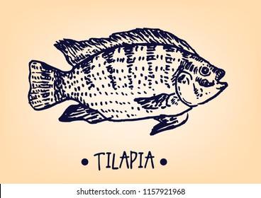 Mango Tilapia specie handdrawn line art artwork.