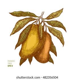 Mango tree vintage illustration. Botanical mango fruit illustration. Engraved mango. Vector illustration