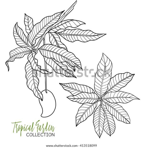 Mango Tropikal Bitki Vektor Illustrasyonu Yetiskin Stok Vektor