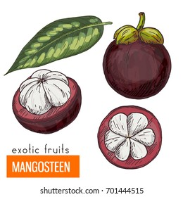 Mangosteen. Full color realistic hand drawn vector illustration.
