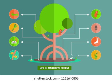 Mangrove Ecology infographic.concept life in mangrove forest for education about Mangrove Ecology,vector,illustration