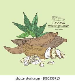 Manihot esculenta: cassava root, tuber, manihot slice and leaves. Vector hand drawn illustration.