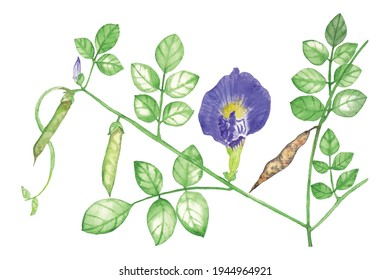 Manual Illustration clitoria ternatea floral watercolor handpainted