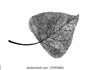 Manually drawn poplar leaf skeleton
