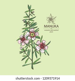 Manuka: branch and flowers of manuka . Cosmetic and medical plant. Vector hand drawn illustration.