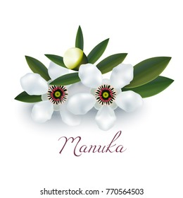 Manuka Flowers and Leaves. Realistic Elements for Labels of Cosmetic Skin Care Product Design. Vector Isolated Illustration