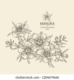 Manuka: leaves and flowers of manuka . Cosmetic and medical plant. Vector hand drawn illustration.