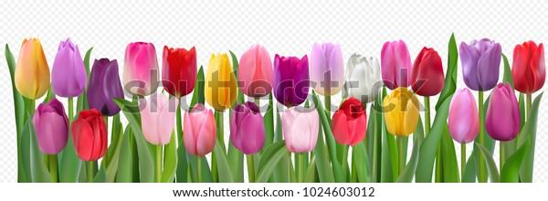 Много красивых красочных тюльпанов с листьями изолированы на прозрачном фоне. Фотореалистичная сетчатая векторная иллюстрация для любого праздничного дизайна, горизонтальный рисунок с живыми весенними цветами.