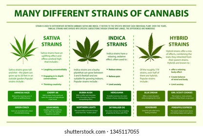 Many Different Strains of Cannabis horizontal infographic illustration about cannabis as herbal alternative medicine and chemical therapy, healthcare and medical science vector.