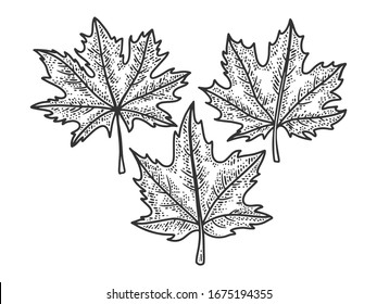 Maple leaves set sketch engraving vector illustration. T-shirt apparel print design. Scratch board imitation. Black and white hand drawn image.