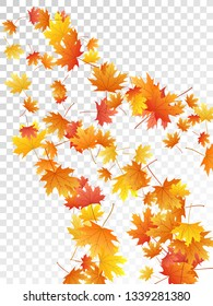 Maple leaves vector, autumn foliage on transparent background. Canadian symbol maple red orange yellow dry autumn leaves. Snazzy tree foliage november season specific background.