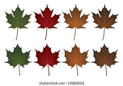Maple Leaves-Sugar and Norway is an illustration of Sugar maple leaves and Norway maple leaves in seasonal colors.