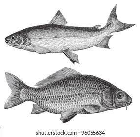 Maraene (Coregonus maraena) above and Common carp (Cyprinus carpio) under / vintage illustration from Meyers Konversations-Lexikon 1897