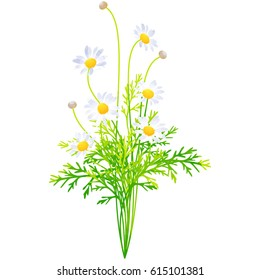 margaret - birth flower vector illustration in watercolor paint textures