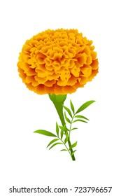 Marigold flower graphic vector
