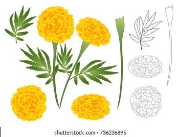Marigold Flower Outline - Tagetes. Vector Illustration. isolated on White Background