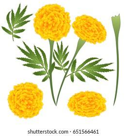 Marigold Flower - Tagetes. Vector Illustration. isolated on White Background