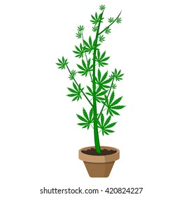 Marijuana or cannabis plant in a flower pot. Flat design. Cannabis plant in a flower Pot.  Green Herbs in a pot.
