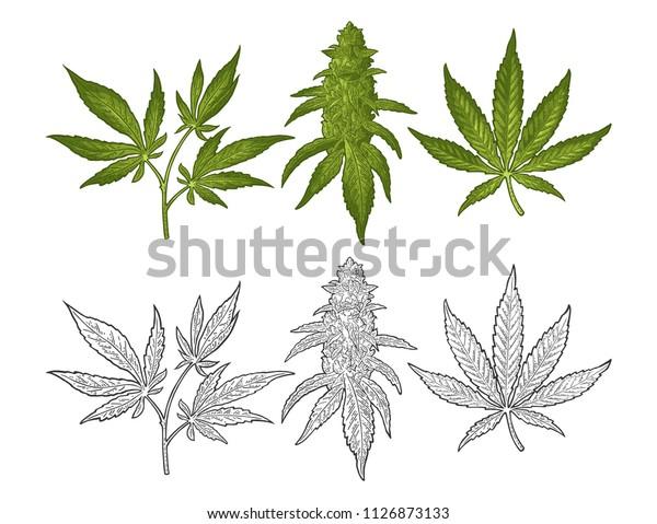 Vector De Stock Libre De Regalías Sobre Planta Madura De