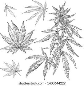 Marijuana mature plant with leaves. Hand drawn design element. Vintage color vector engraving illustration for label, poster, web. Isolated on white background. Vector set