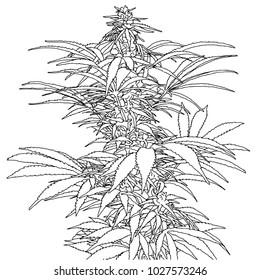 Marijuana plant drawing