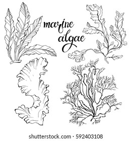 Marine algae.  Vector hand-drawn illustration on a white background. Collection of isolated outline elements for design.