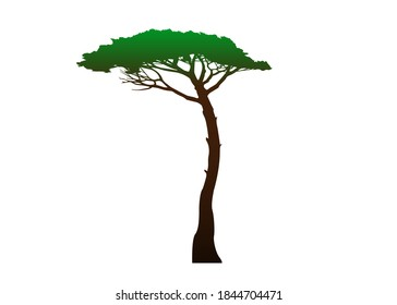 Maritime Pine tree, Pinus Pinaster mediterranean plant, colored vector isolated on white background