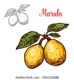 Marula exotic fruit vector design. Fresh vegetarian nutrition concept. Marula hand drawn isolated on white background. Exotic tropical fruit for organic oil and cosmetics label