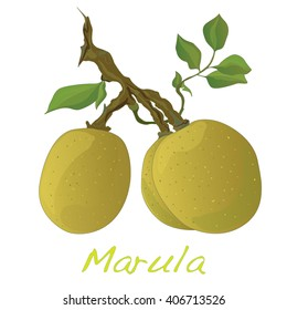 Marula fruit.  Vector illustration isolated