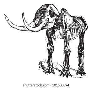Mastodon or Mammut sp., showing Skeleton, vintage engraved illustration. Dictionary of Words and Things - Larive and Fleury - 1895