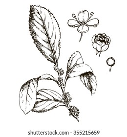 Mate shrub, yerba mate, Paraguay tea, flowering branch with androgynous flowers and fruit, vintage engraved illustration.