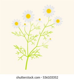 Matricaria chamomilla - vector illustration in flat style