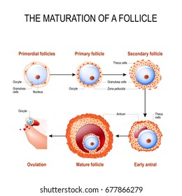 maturation of a follicle. Diagram of folliculogenesis.
