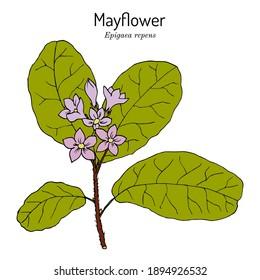 Mayflower or trailing arbutus (Epigaea repens), state flower of Massachusetts. Vector hand drawn illustration