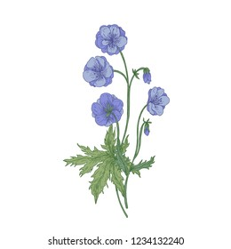 Meadow geranium or crane's-bill flowers isolated on white background. Vintage drawing of wild perennial herbaceous flowering plant used as medicinal herb. Hand drawn botanical vector illustration.