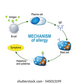 Mechanism of allergy. Mast cells and allergic reaction.