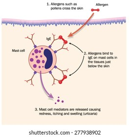 Mechanism of hay fever, showing pollen (allergen) binding to IgE on mast cell in the skin. Created in Adobe Illustrator.  Contains transparencies.  EPS 10.