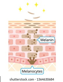 mechanism of skin cell turnover illustration. Melanin and melanocytes in human skin layer. beauty and skin care concept