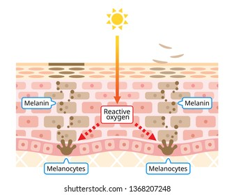 mechanism of skin cell turnover illustration. Melanin and melanocytes with human skin layer. beauty and skin care concept. beauty and skin care concept