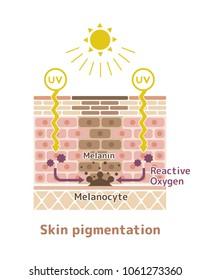 mechanism of skin pigmentation / skin spot illustration
