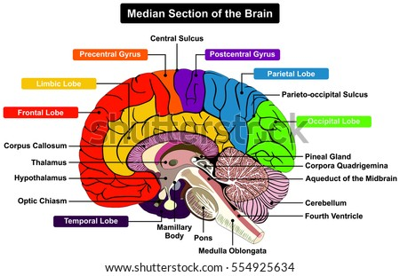 Cerebellum Midbrain Diagram - Custom Wiring Diagram •