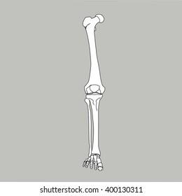 medical accurate icon of the leg bones, femur, patella, tibia, fibula, tarsals,metatarsals, phalanges vector