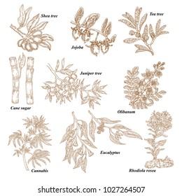 Medical and cosmetics plants. Hand drawn Shea nuts, Jojoba, Tea tree, Cane sugar, Juniper, Olibanum, Cannabis, Rhodiola rosea, Eucalyptus. Vector illustration engraved.