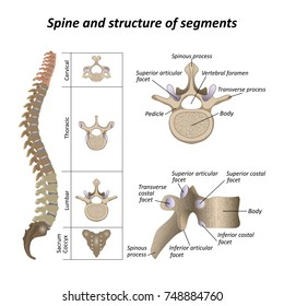 Medical diagram of a human spine with the name and description of all sections and segments of the vertebrae. Vector illustration