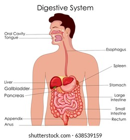 Human digestive system images stock photos vectors shutterstock medical education chart of biology for digestive system diagram vector illustration ccuart Gallery