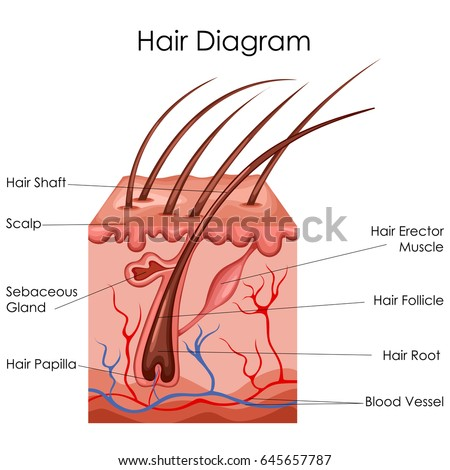 medical education chart biology hair 450w 645657787 medical education chart biology hair diagram stock vector (royalty