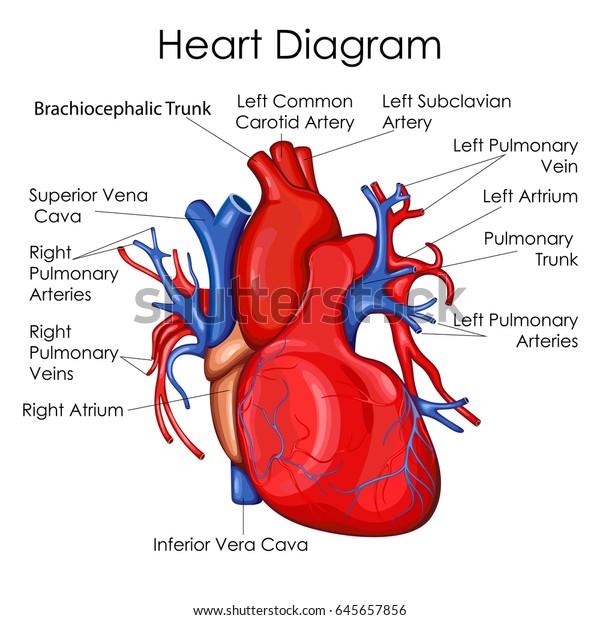 Medical Education Chart Biology Heart Diagram Stock Vector ...
